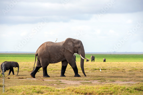 Foto op Canvas Natuur Elephant in National park of Kenya