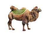 Bactrian camel (Camelus bactrianus)