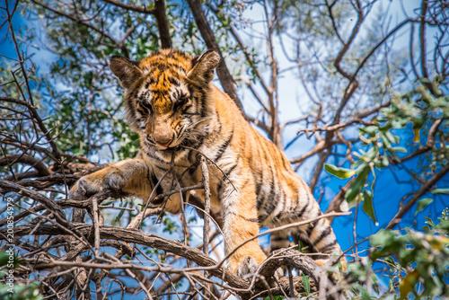 Młody tygrys na drzewie w dżungli
