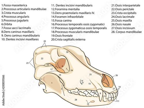 GamesAgeddon - The skull of a dog. Structure of the bones of the ...