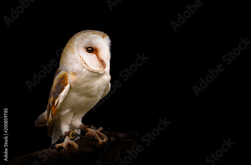 Barn Owl to the side of black background