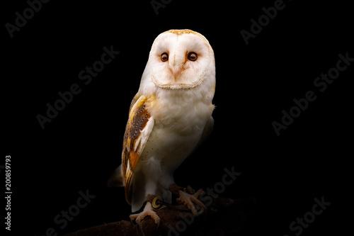Barn Owl on black background