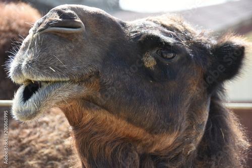 Fototapeta Closeup of a camel