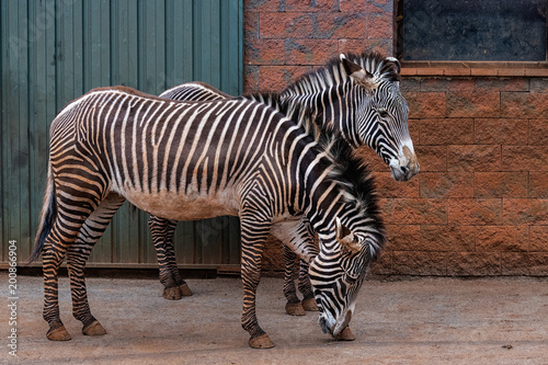The Grevy's zebra (Equus grevyi), also known as the imperial zebra, is the largest living wild equid and the largest and most threatened of the three species of zebra. - 200866904