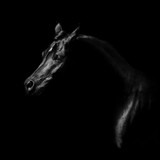 Fototapeta Konie - Silhouette of a black arabian horse isolated on black background © Svetlana