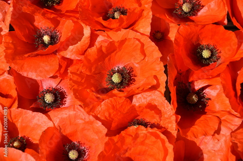 Poppies composition in April. - 200874193