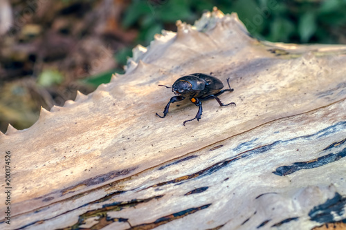 Beetle in nature on a tree trunk - 200874526