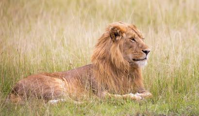 Löwe im Gras der savanne liegend