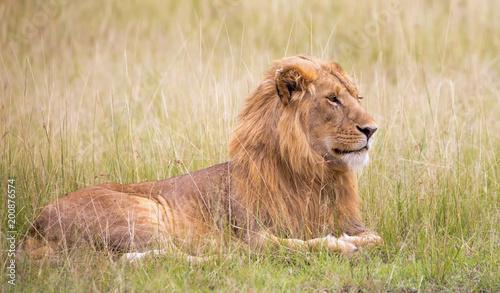 Fotobehang Lion Löwe im Gras der savanne liegend