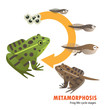 frog life cycle metamorphosis