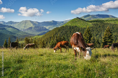 Krowy pasą się na górskich wzgórzach w promieniach słońca.