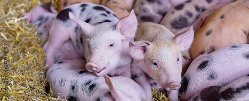 Prosiaczek świń