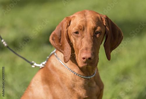 Aluminium Hond Hungarian Vizsla dog portrait in the nature