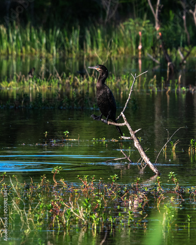 Foto Murales Cormorant perched on a branch!