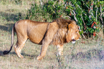 Male lion walking in the bush