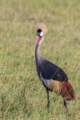 Foto Murales Grey Crowned Crane walking in the tall grass