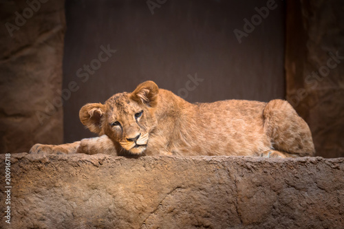 Cute baby lion lying on the rock
