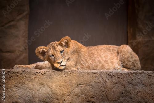 Foto Murales Cute baby lion lying on the rock