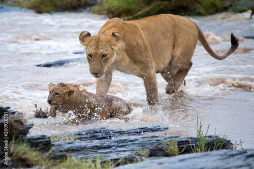 Löwin hilft Löwen Baby durch den Fluss zu schwimmen