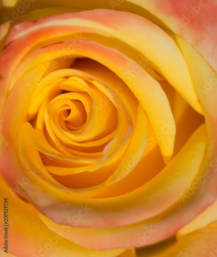 Beautiful macro of yellow rose - 200929504