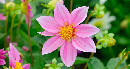 Dahlia on background of flowerbeds. Wide photo.