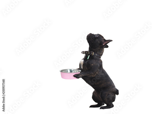 Foto op Plexiglas Franse bulldog Funny dog with bowl of food in his paws