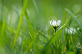 Daisyflower in a green meadow