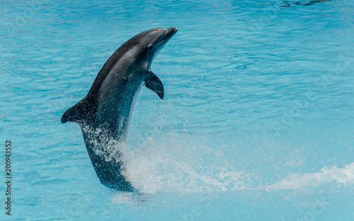 Plexiglas Dolfijn Dolphin jumping above blue water