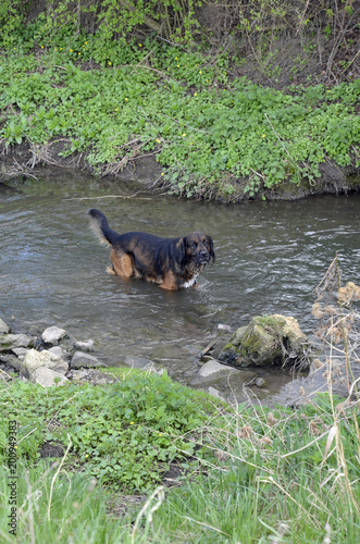 In de dag Olijf ein hund steht in einem bach