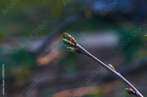 Foto Murales the buds on the branch and the ant