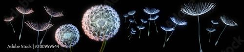 Pusteblumen vor schwarzem Hintergrund extremes Querformat - 200959544