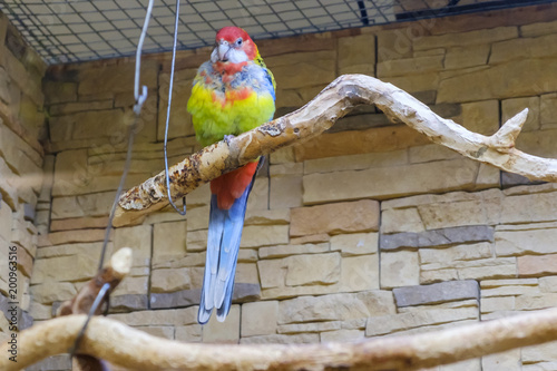 Plexiglas Papegaai Colorful red parrot sits on a branch in a cage.