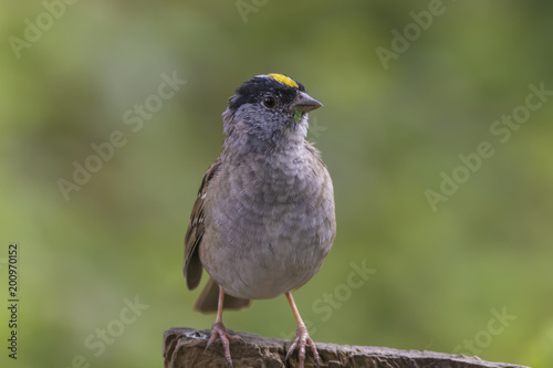 Foto Murales Cute Little Bird with a Yellow Patch of Feathers on head