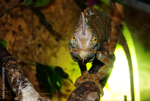 Plexiglas Kameleon veiled chameleon (Chamaeleo calyptratus, cone-head or Yemen chameleon) in the terrarium looks at the frame
