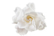 beautiful white flower gardenia on  White background