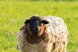Weißes Schaf mit schwarzem Kopf im Portrait - 201005164