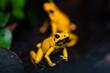 Golden poison frog in their natural habitat