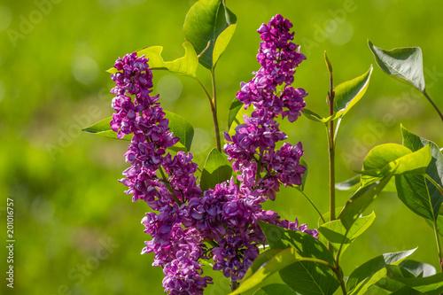 Foto op Plexiglas Kiev Spring branch of blossoming lilac. Kiev, botanical garden, Grishka