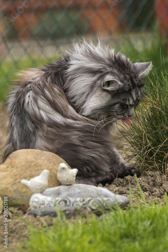 Foto op Canvas Natuur beautiful coon in nature in spring