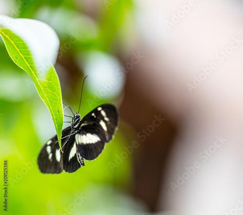 Foto Murales Schmetterling (Schwarzer Trauerfalter)