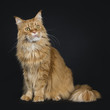 Big red adult yawning Maine Coon cat sitting side ways isolated on black background big tail around body and looking up