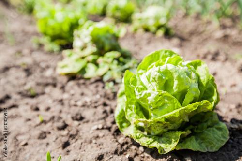Organic Green Lettuce Vegetable