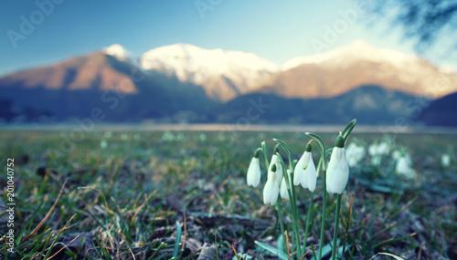 Foto Murales Schneeglöckchen in den Bergen