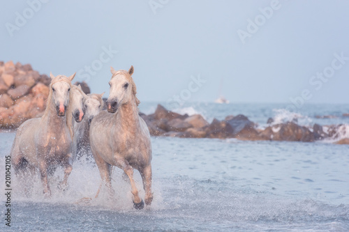 Beautiful white horses run gallop in the water at sunset, National park Camargue, Bouches-du-rhone department, Provence - Alpes - Cote d'Azur region, south France. Image with copy space