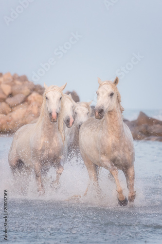 Beautiful white horses run gallop in the water at sunset, National park Camargue, Bouches-du-rhone department, Provence - Alpes - Cote d'Azur region, south France. Vertical image