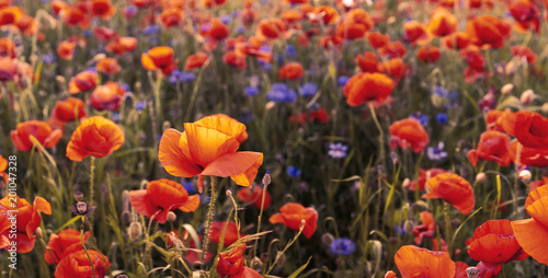 red, wild poppies in the meadow in the light of the setting sun - 201047328