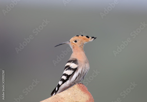 Close-up photo of a hoopoe sitting on a brick on a blurred background.