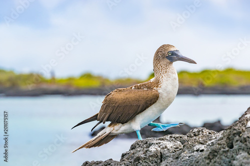 Blue-footed Booby - Iconic and famous galapagos animals and wildlife. Blue footed boobies are native to the Galapagos Islands, Ecuador, South America.