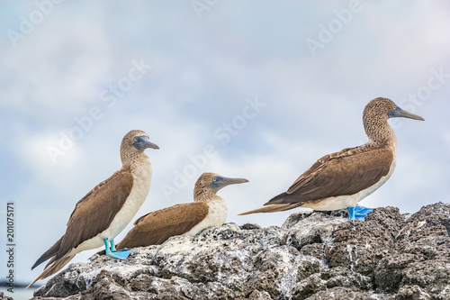 Blue-footed boobies - Iconic and famous galapagos animals and wildlife. The Blue footed Booby are native to the Galapagos Islands, Ecuador, South America.