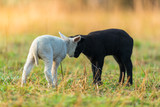 Cute different black and white young lambs on pasture - 201076309